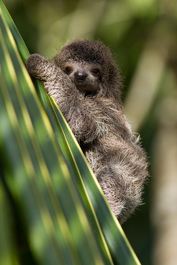 Download Baby Three-toed Sloth Royalty Free Stock Photos - Image: 32604428