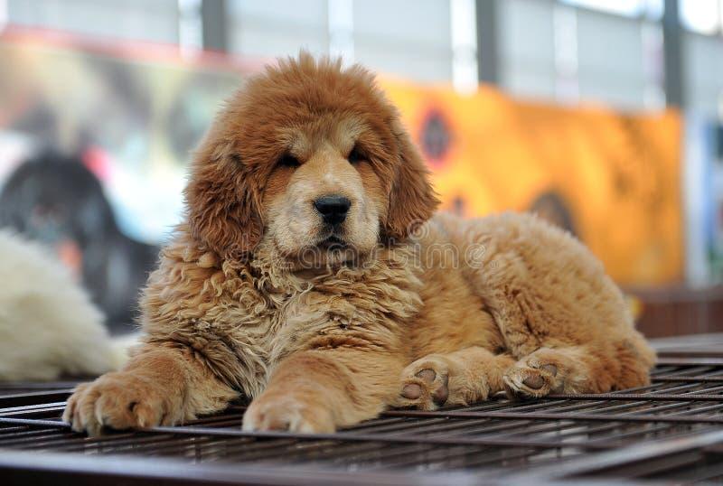 Baby Tibetan mastiff royalty free stock image