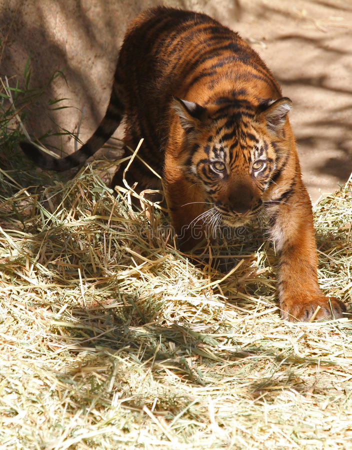 Download Baby Tiger stock photo. Image of feline, play, captured - 22682604