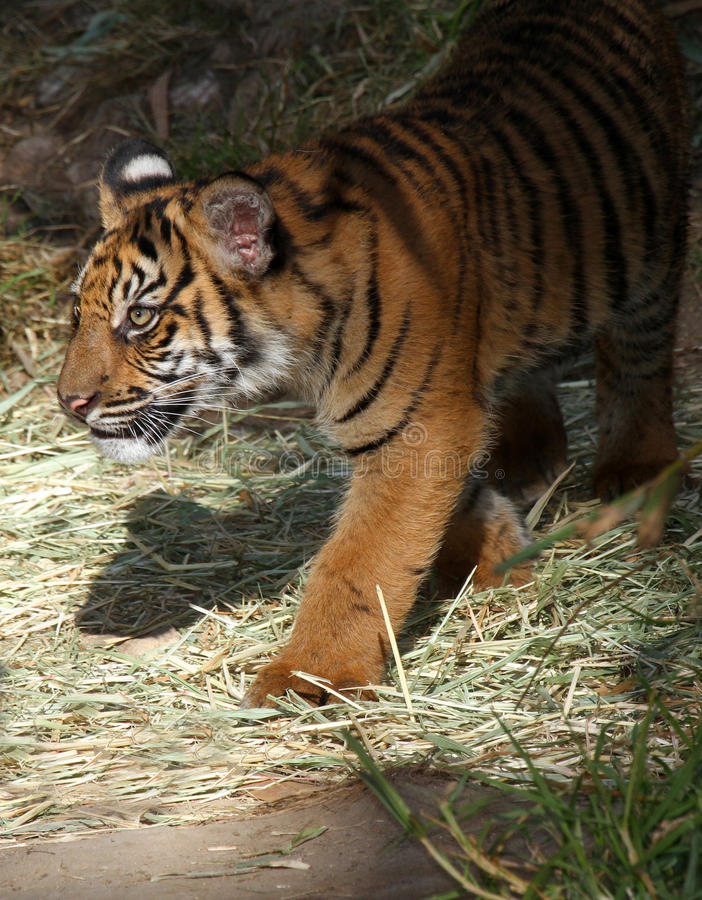 Download Baby Tiger stock image. Image of immature, creature, asia - 22826041