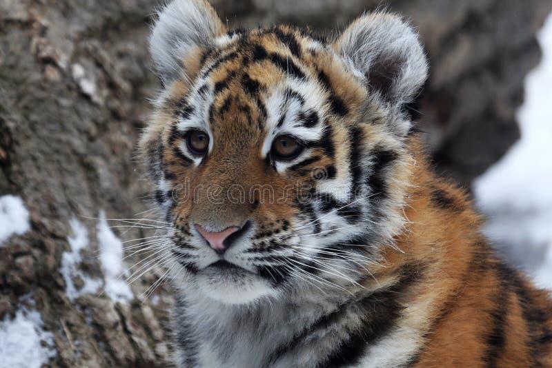 Baby tiger stock photo