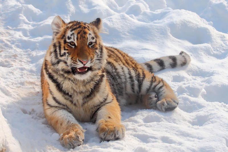 Baby tiger portrait royalty free stock photos