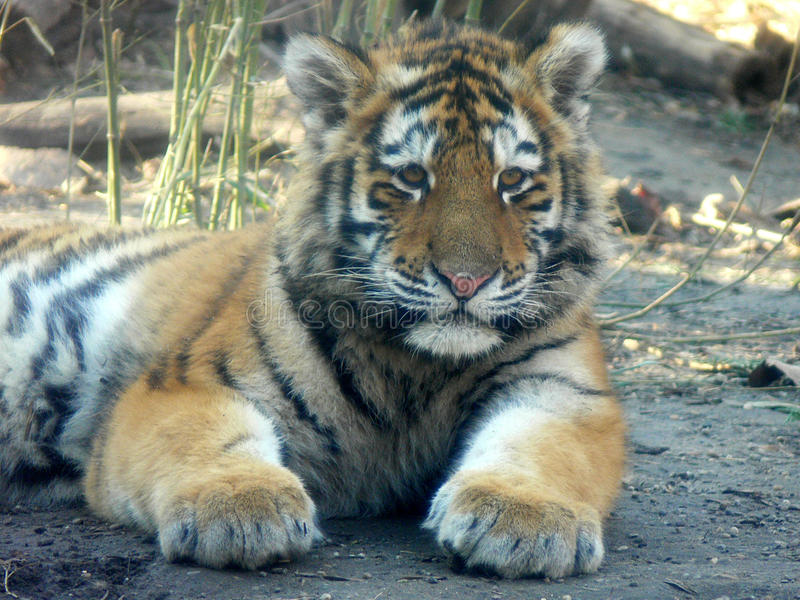 Baby tiger portrait royalty free stock images