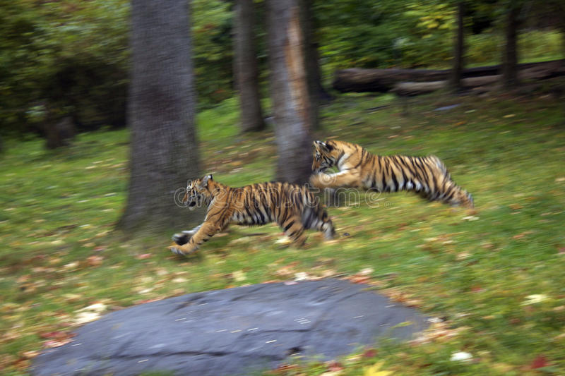 Baby tigers playing stock photos