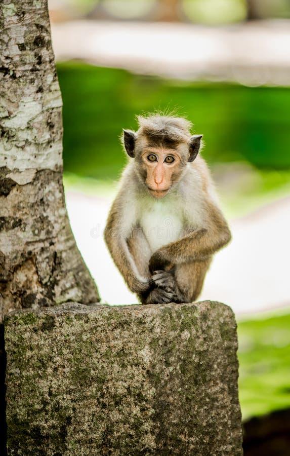 Baby Toque Macaque posing stock photo