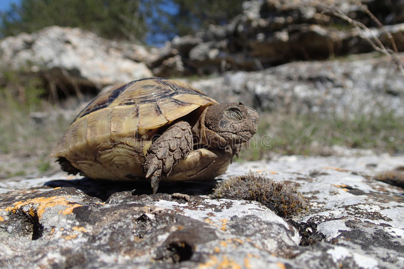 Baby tortoise blinking in the springtime stock photography
