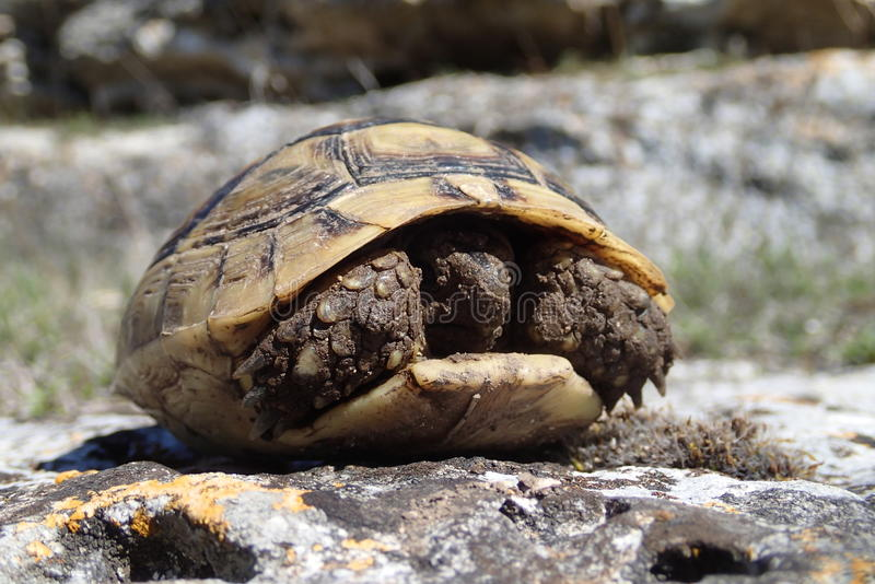 Baby tortoise getting out stock image
