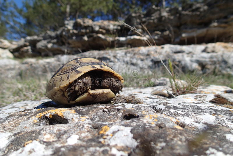 Baby tortoise hiding ing in its shell stock photography