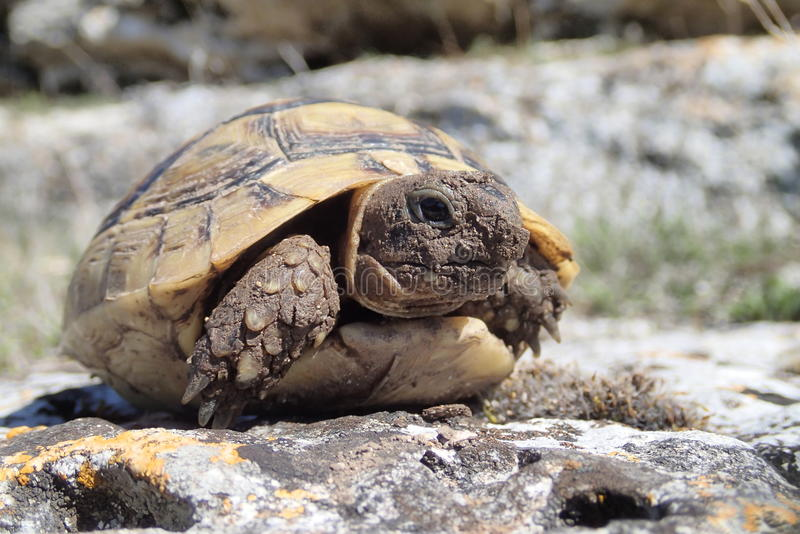 Baby tortoise on a rock stock images