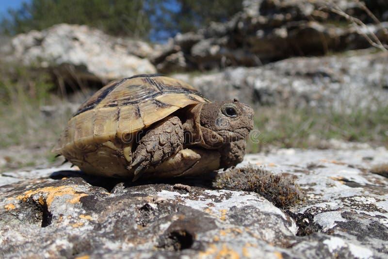 Baby tortoise waiting royalty free stock photos