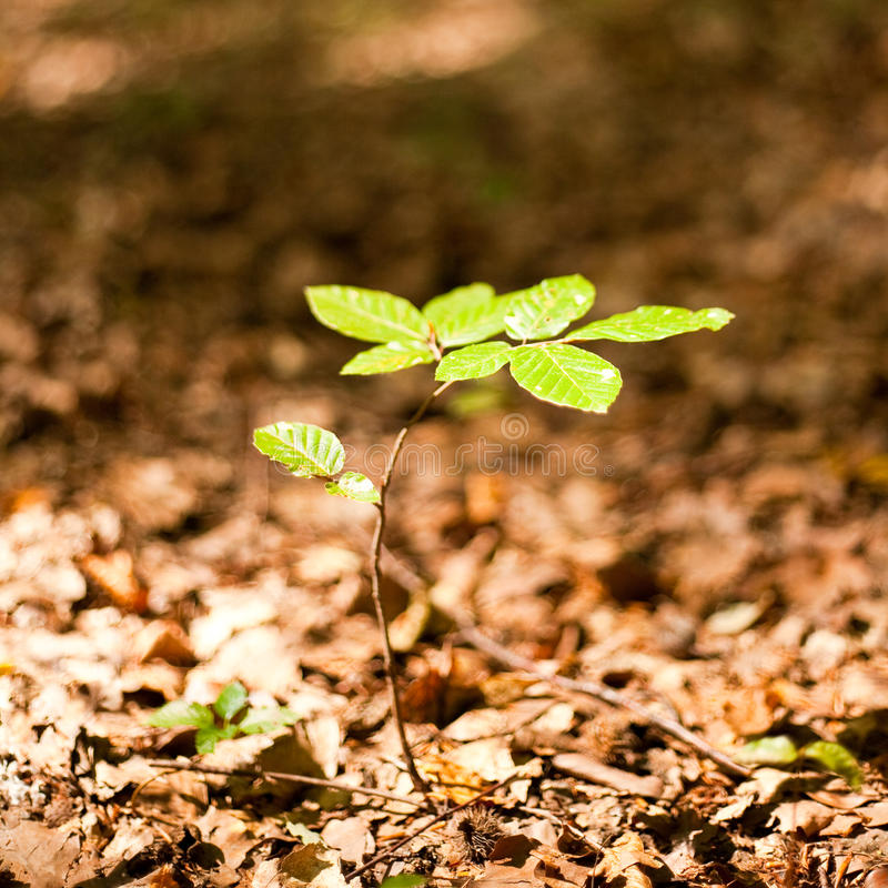 Baby tree. Growing through the fallen leaves stock images