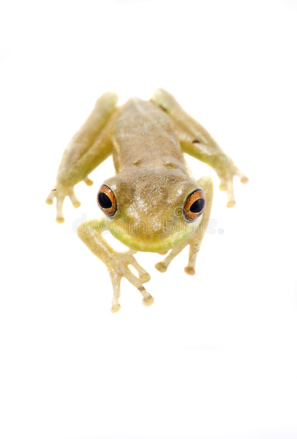 Baby Tree Frog 09-01 royalty free stock photos