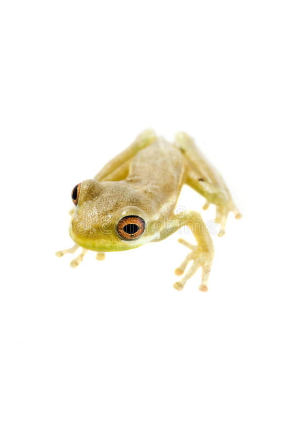 Baby Tree Frog 09-02 royalty free stock images