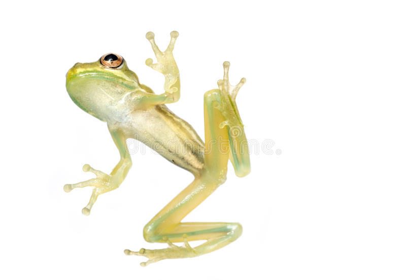 Baby Tree Frog Belly stock photo