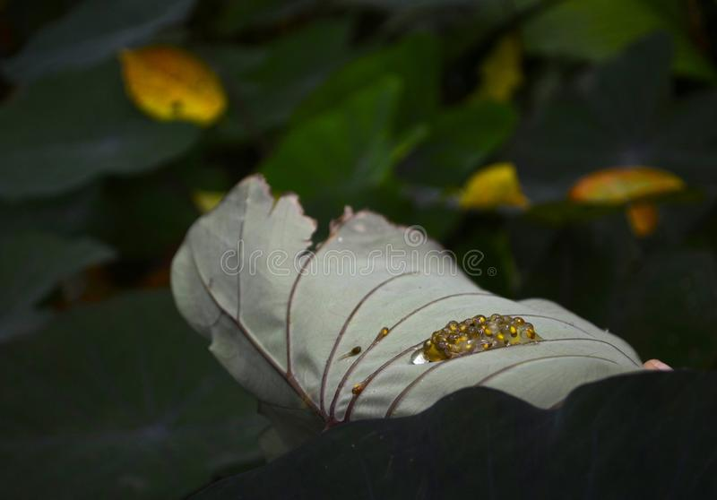 Baby tree frogs hatching. Pod of baby tree frogs hatches on the bottom side of a taro leaf stock images
