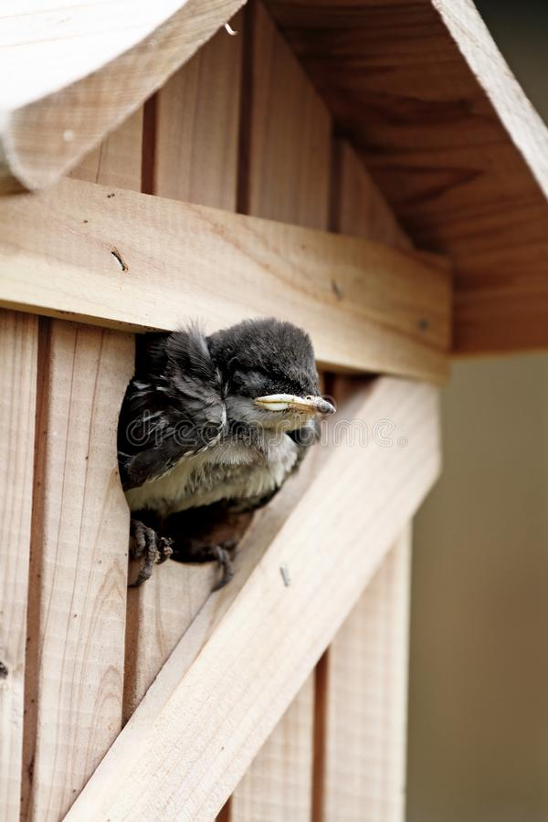 Baby Tree Swallow. Very young baby tree swallow waiting at the entrance of his nest box for the parents to come feed him. Extreme shallow depth of field with royalty free stock photos
