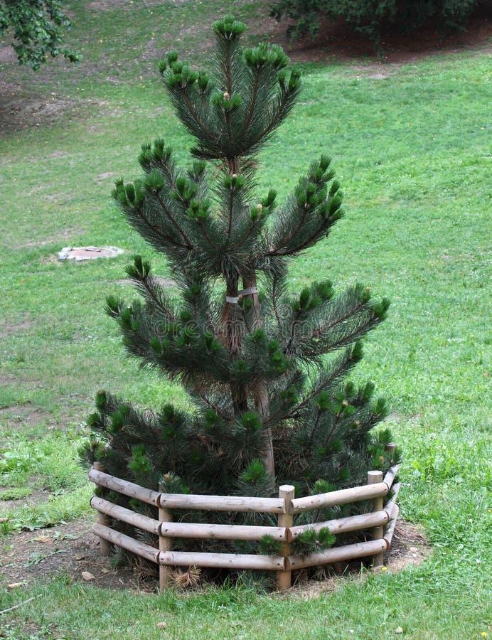 Baby Tree stock photos