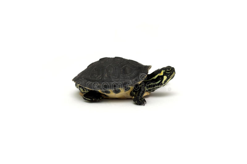 Download Baby turtle stock photo. Image of looking, adorable, background - 19291684