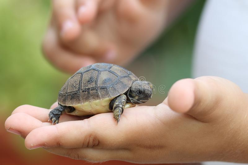 Baby turtle. In children hand royalty free stock photo