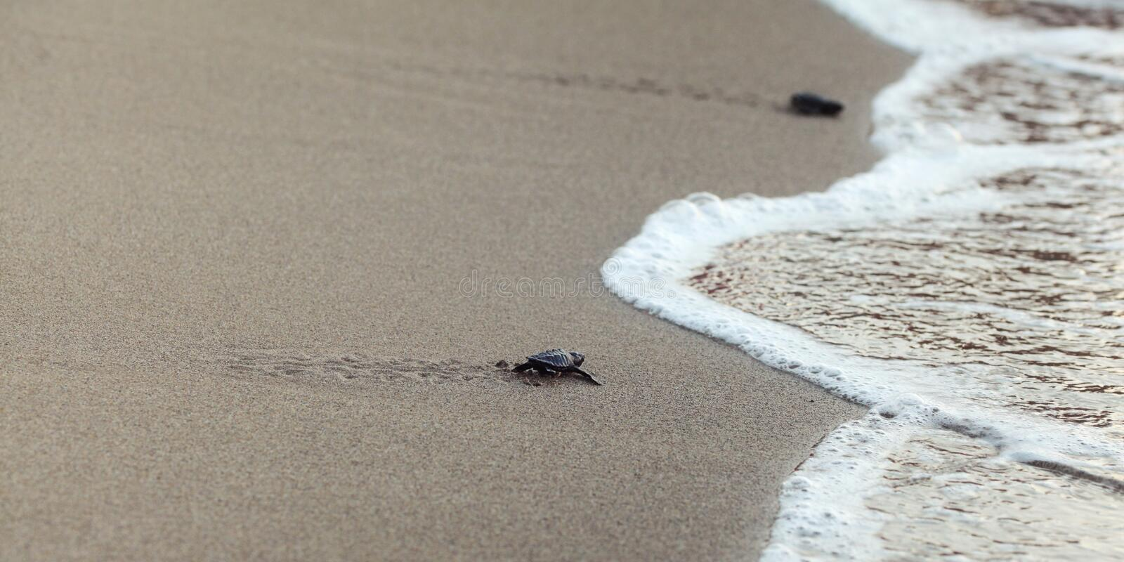 Baby turtle finding its way to the sea, detail on wet beach sand stock photo