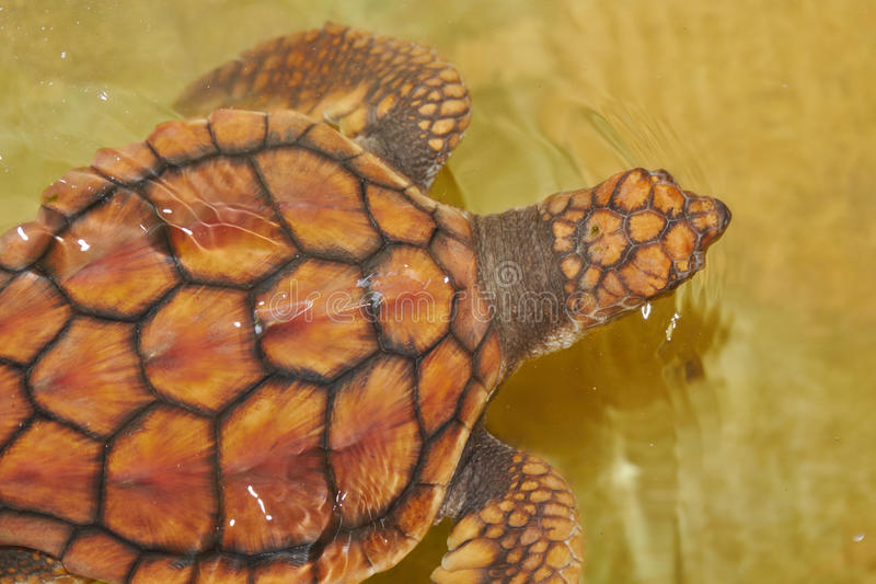 Download Baby turtle stock photo. Image of water, nature, shell - 34052966