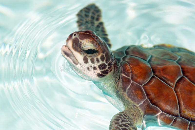 Baby turtle in the water royalty free stock photo