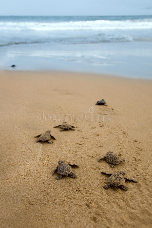 Free Baby Turtles Royalty Free Stock Images - 29278109