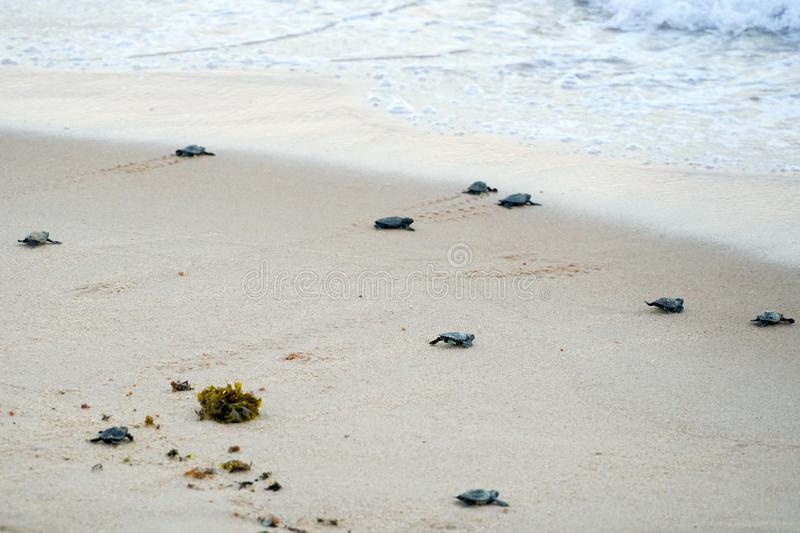 Baby turtles doing their first steps to the ocean stock photography