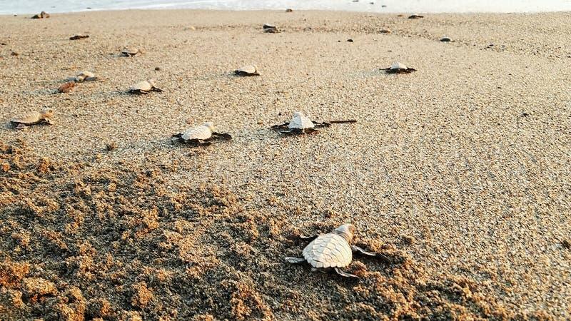 Baby turtles making their way down the beach. Baby turtles going down the beach to the ocean in Puerto Vallarta Mexico stock photos