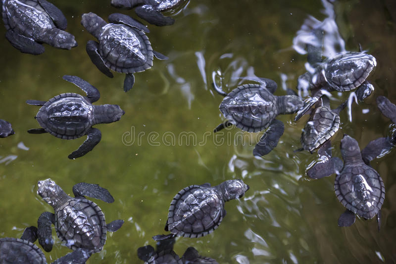 Baby turtles. In water olive ridley stock photos