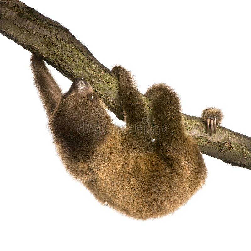 Baby Two-toed sloth (4 months) stock photos