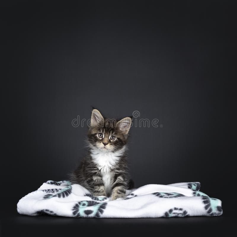 Baby Uber nettes kleines Maine-Katzenkätzchen auf einem schwarzen Hintergrund stockfotografie
