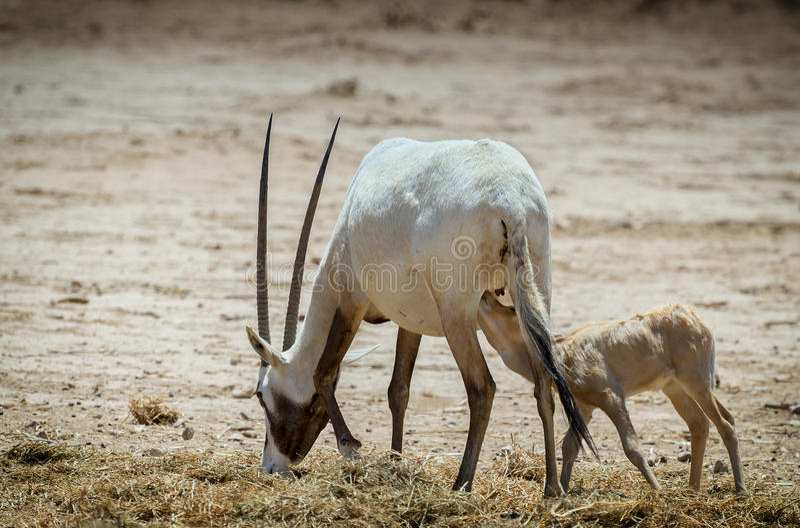 Baby und Frau arabischen dammah Oryx Säbelantilope der Antilope stockbild