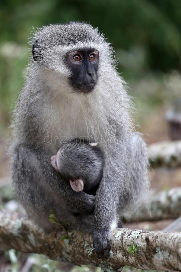 Baby Vervet Monkey and Mother stock image