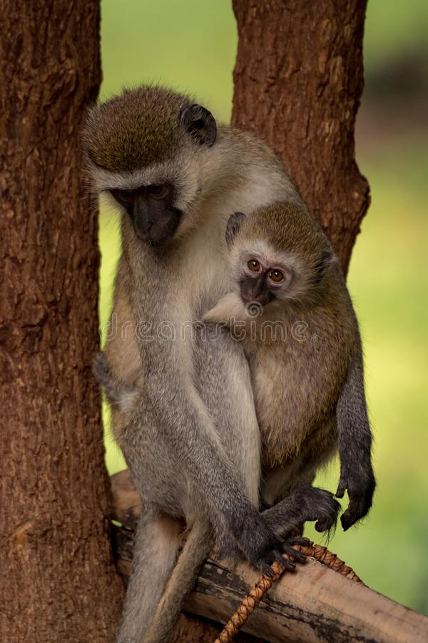 Baby vervet monkey and mother on pole royalty free stock photo