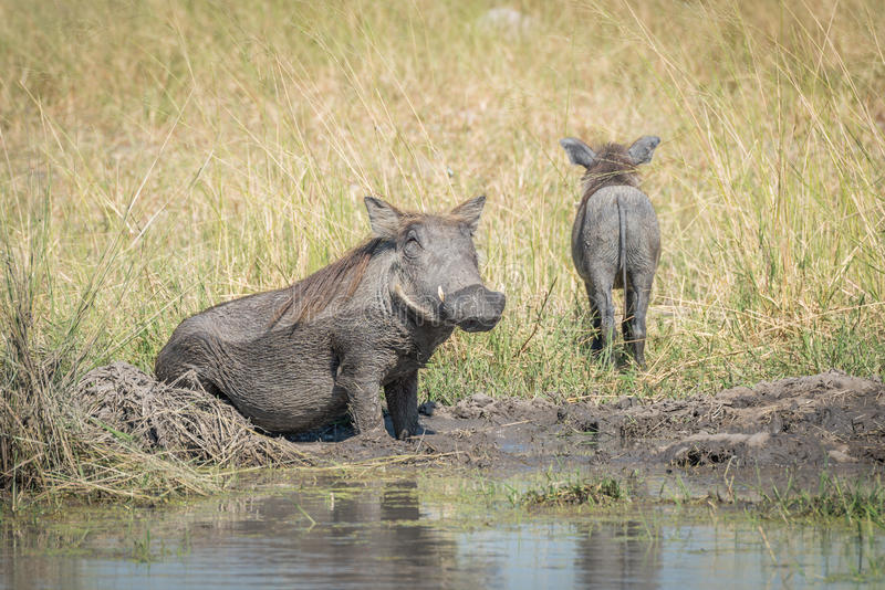 Baby warthog leaving mother wallowing in mud stock photos
