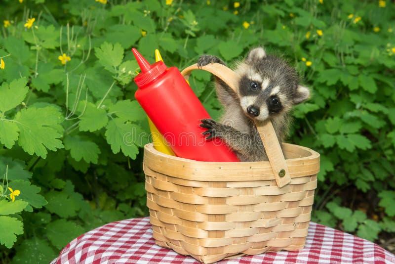 Baby-Waschbär in einem Picknickkorb lizenzfreies stockbild