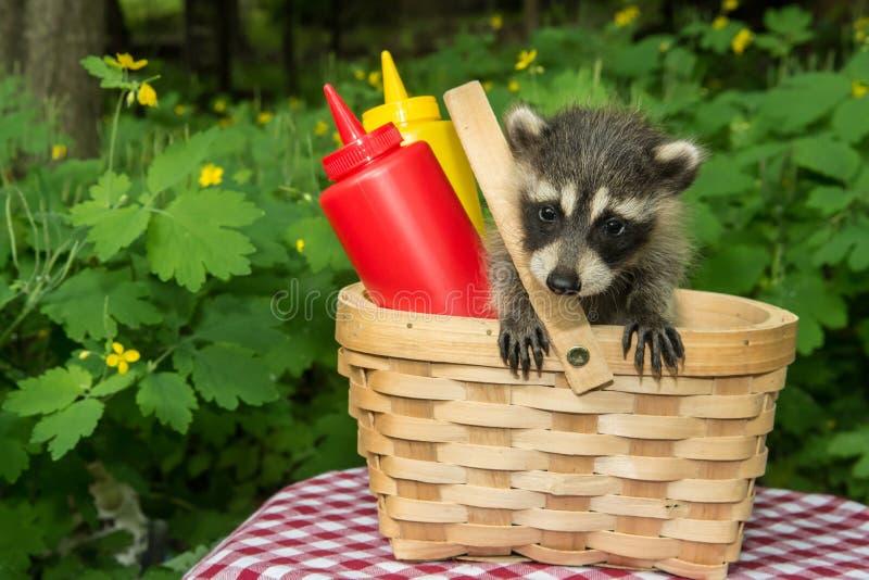 Baby-Waschbär in einem Picknickkorb stockbilder