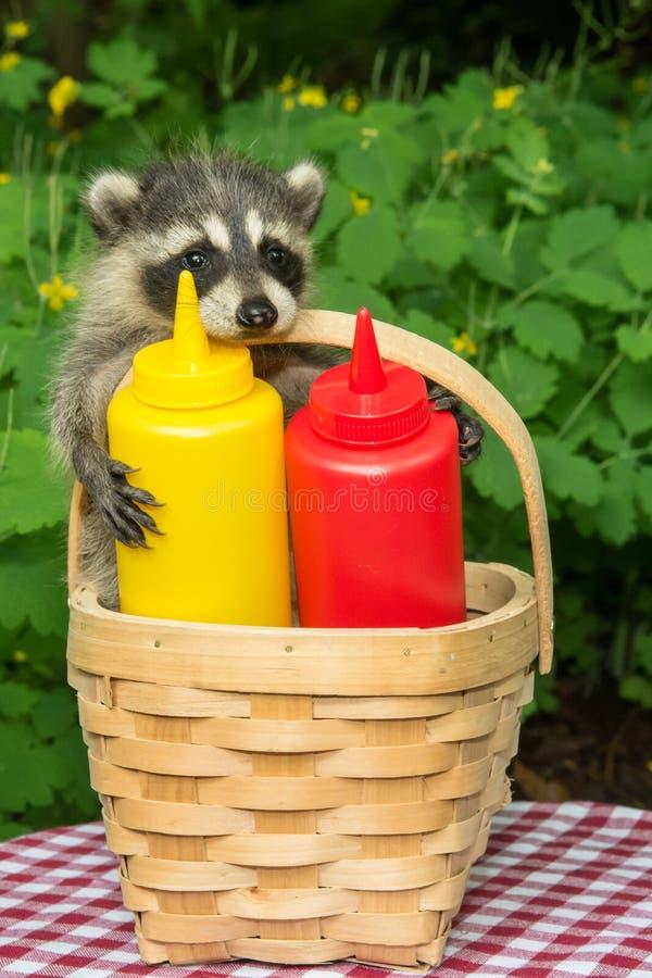 Baby-Waschbär in einem Picknickkorb lizenzfreie stockfotos
