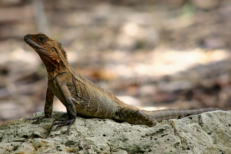 Baby Water Dragon royalty free stock images