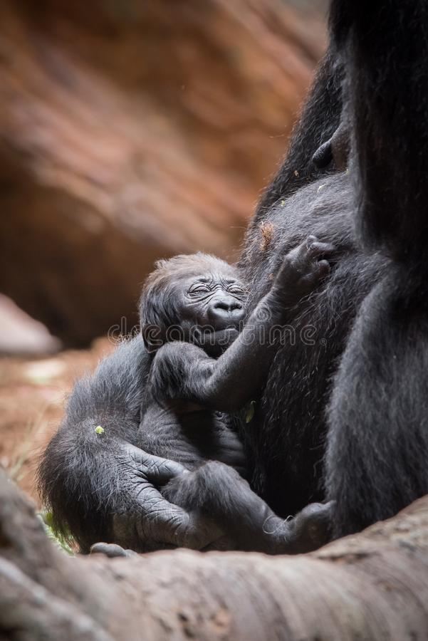 Baby Western Lowland Gorilla at Toronto Zoo royalty free stock photography