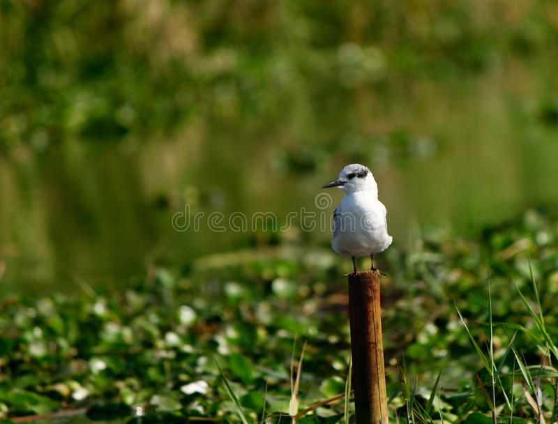Baby whiskered tern at Chilika Sanctuary stock image