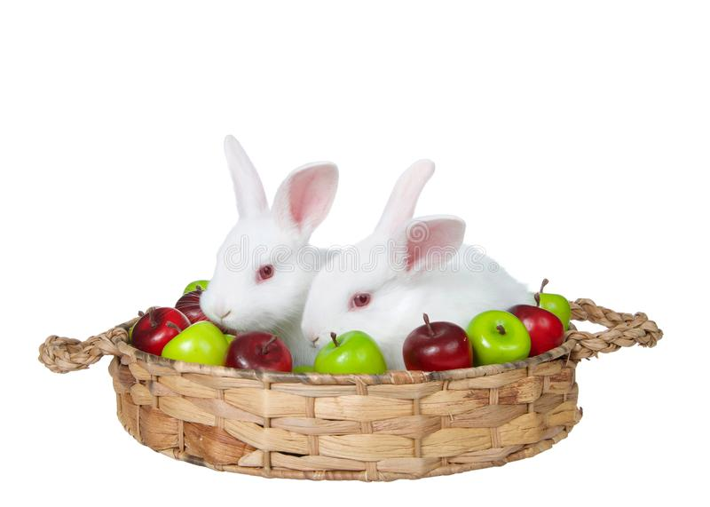 Baby white bunny rabbits in an apple basket isolated stock photos