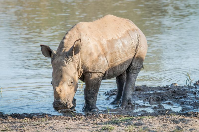 Baby White rhino calf playing in the water royalty free stock photo