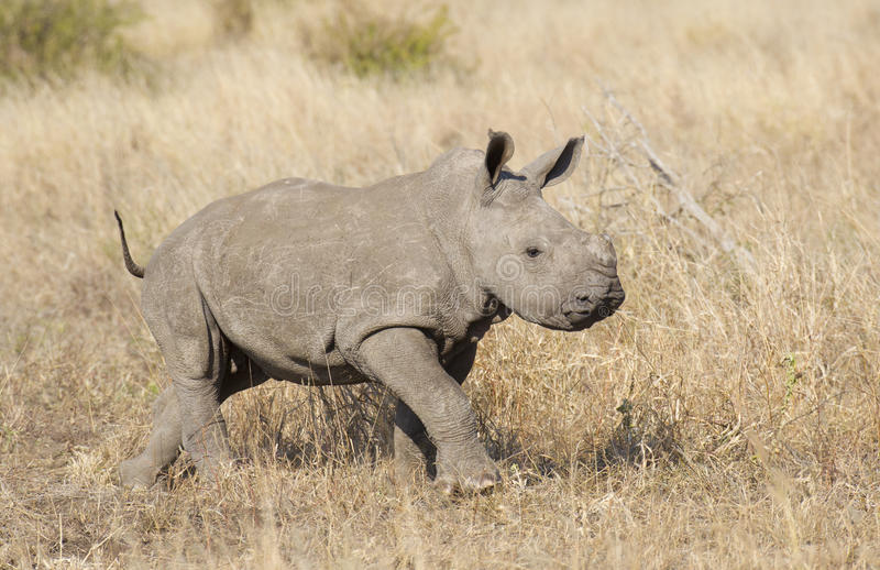 Baby White Rhino, South Africa. Baby White Rhino, (Ceratotherium simum) in South Africa's Kruger Park stock photos