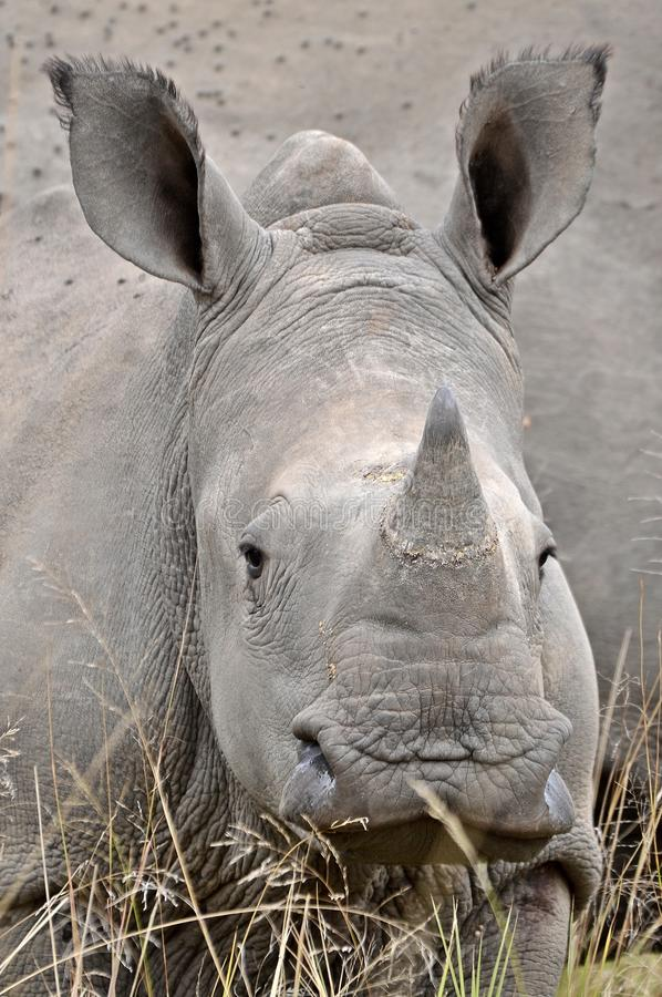 Baby White rhinoceros (Ceratotherium simum). In Kruger National Park, South Africa stock image