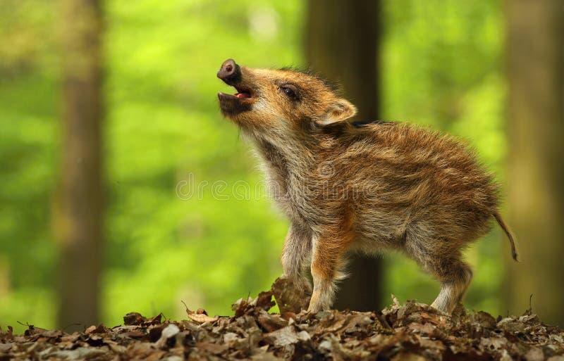 Baby wild boar calling stock photo
