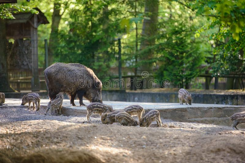 Baby wild boar with mother in the park. Spring time, animal, young, mammal, cute, pig, small, piglet, wildlife, little, snout, forest, nature, striped, fur royalty free stock images