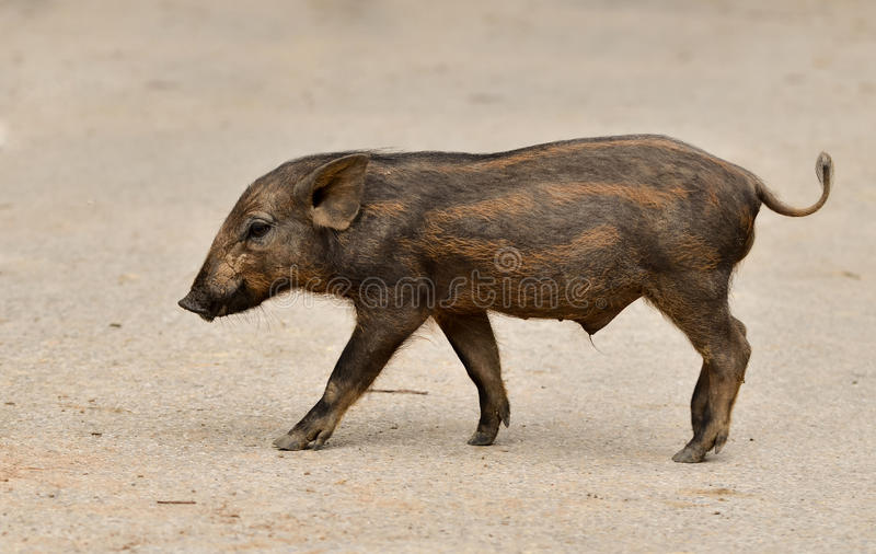 Baby wild boar stock images