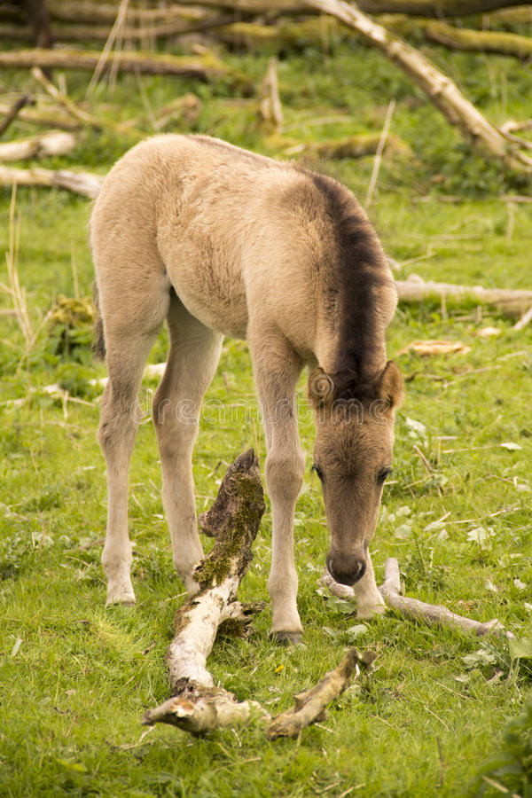 Baby wild horse stock photos